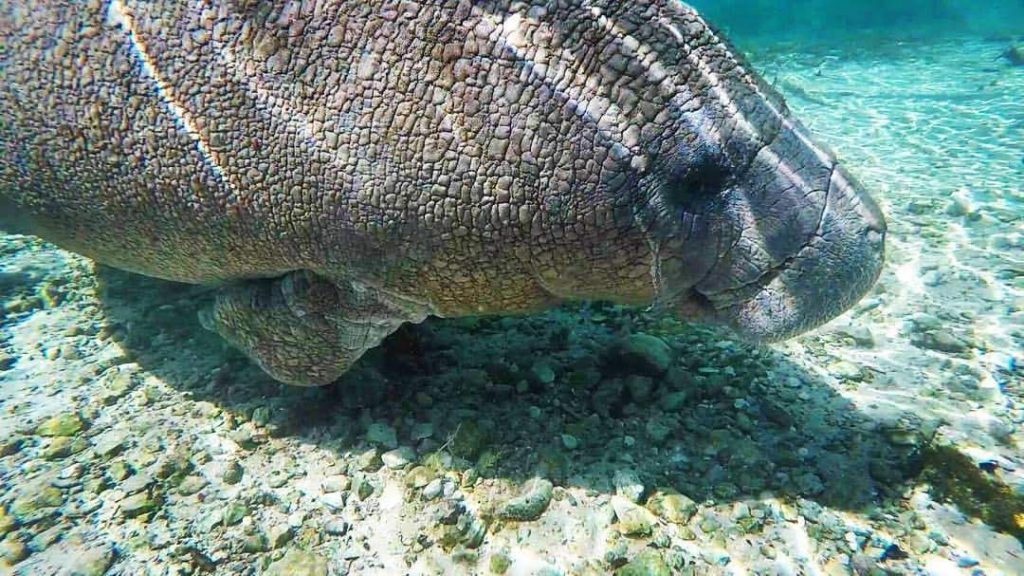 A very clear shot while swimming with manatees in Crystal River.