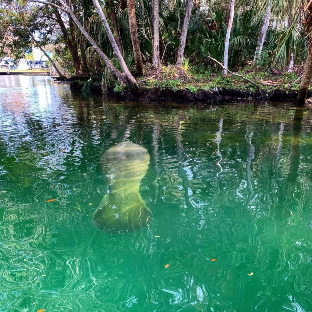 A manatee rests just a few feet away from a kayaker at Weeki Wachee River in Florida.