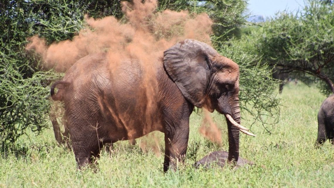 An elephant dusting in the red clay at Tarangire National Park.