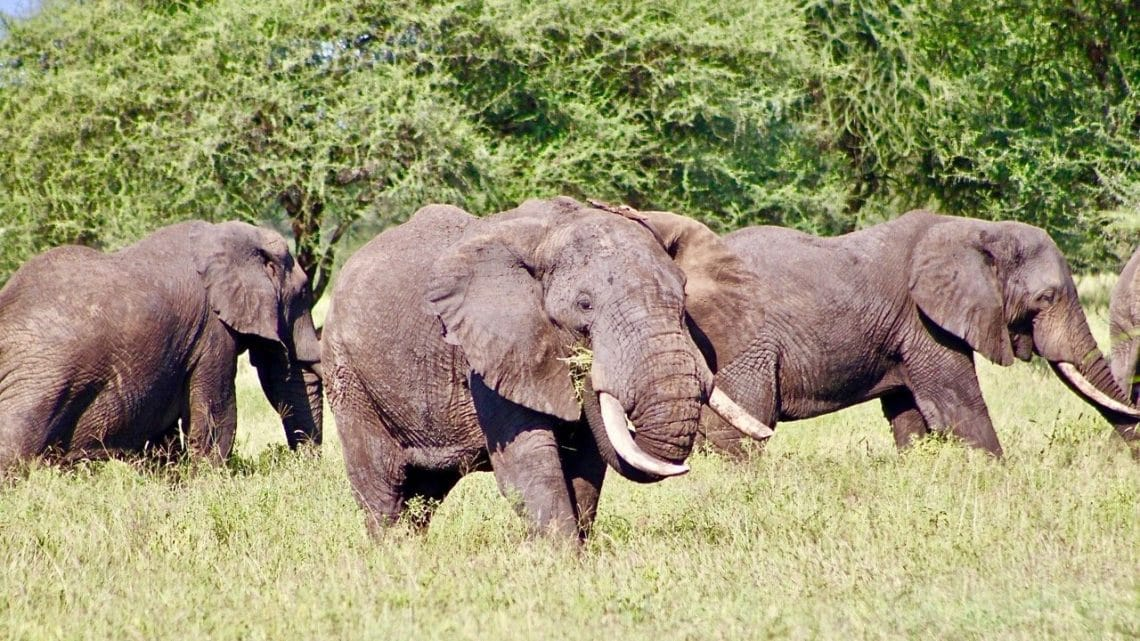 A large bull elephant with other male elephants behind him grazing in Africa.