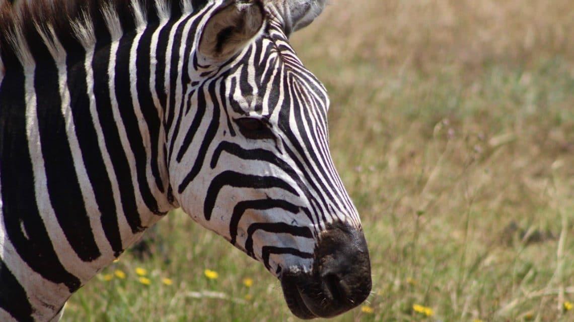 Headshot of a zebra.