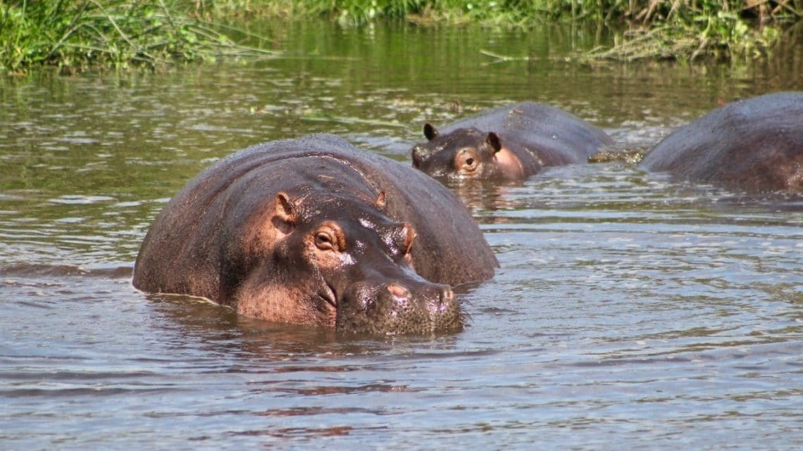 A hippo wading in a pool of water.