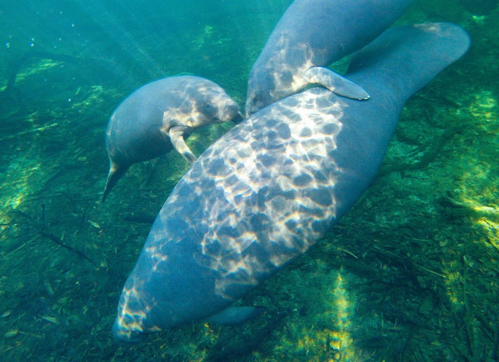 A few manatees swimming below a kayak at Blue Spring State Park in Florida.