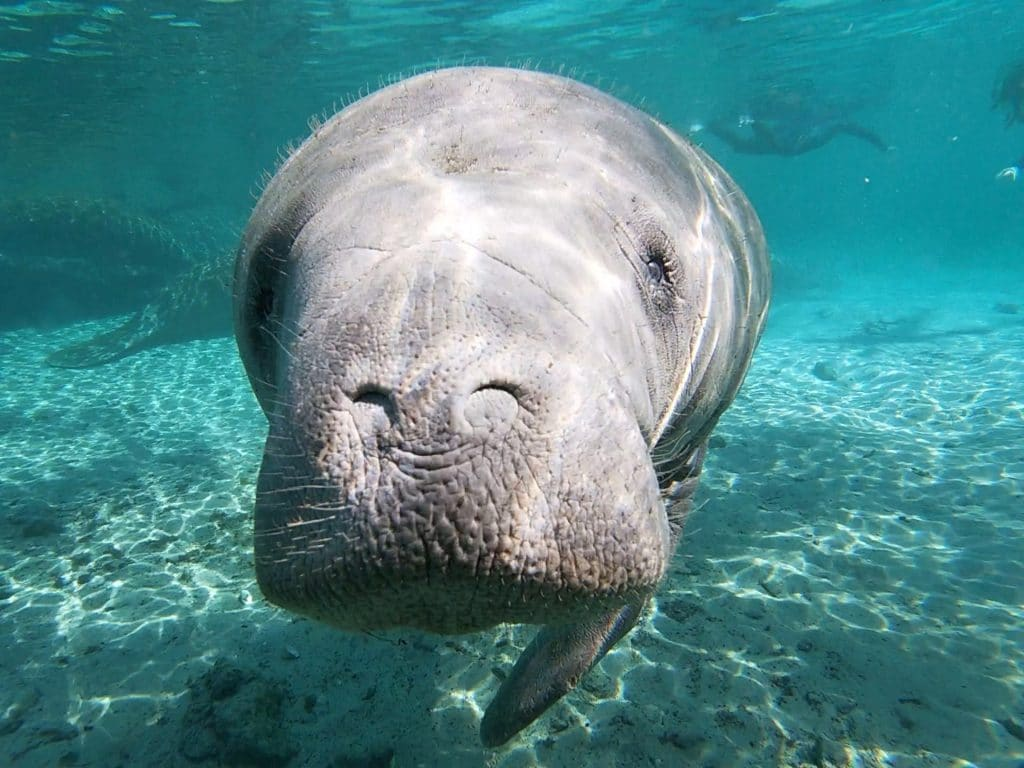 A curious manatee approaches. Remember to never touch or harass a manatee!