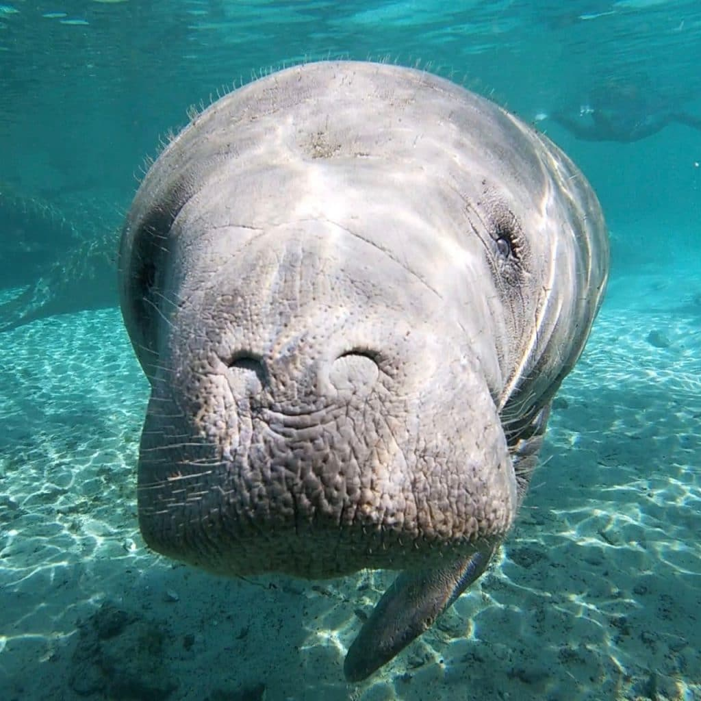 A curious manatee as seen from Three Sister's Spring at Crystal River, Florida.