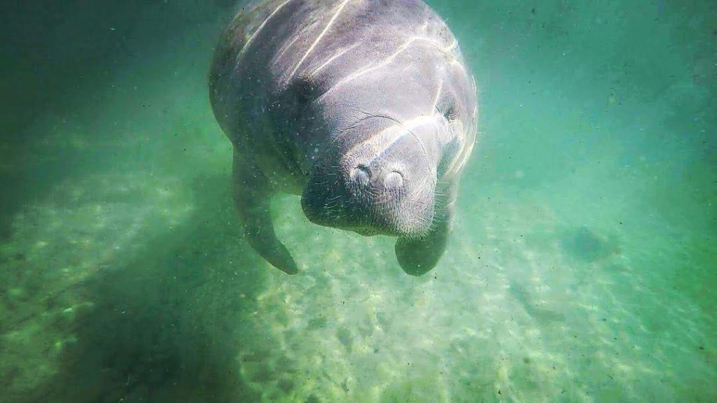 A clear shot while swimming with manatees in Crystal River.