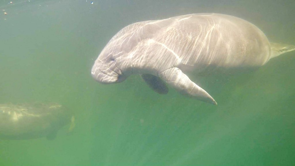 A manatee viewed from underwater while kayaking Weeki Wachee Springs.