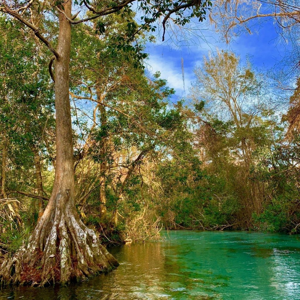 A cypress tree along the edge of the Weeki Wachee River.