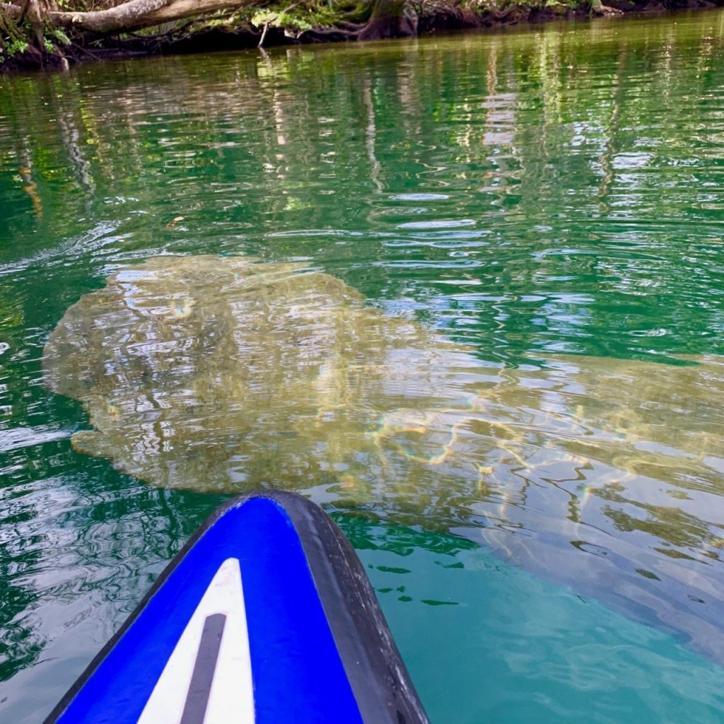A manatee spotted just at the edge of a paddle board while kayaking Weeki Wachee Springs