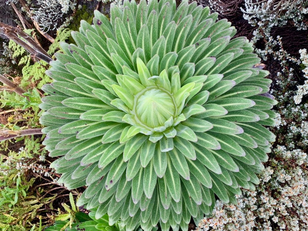 An above view of the Giant Lobelia plant that is unique to mountains like Kilimanjaro.