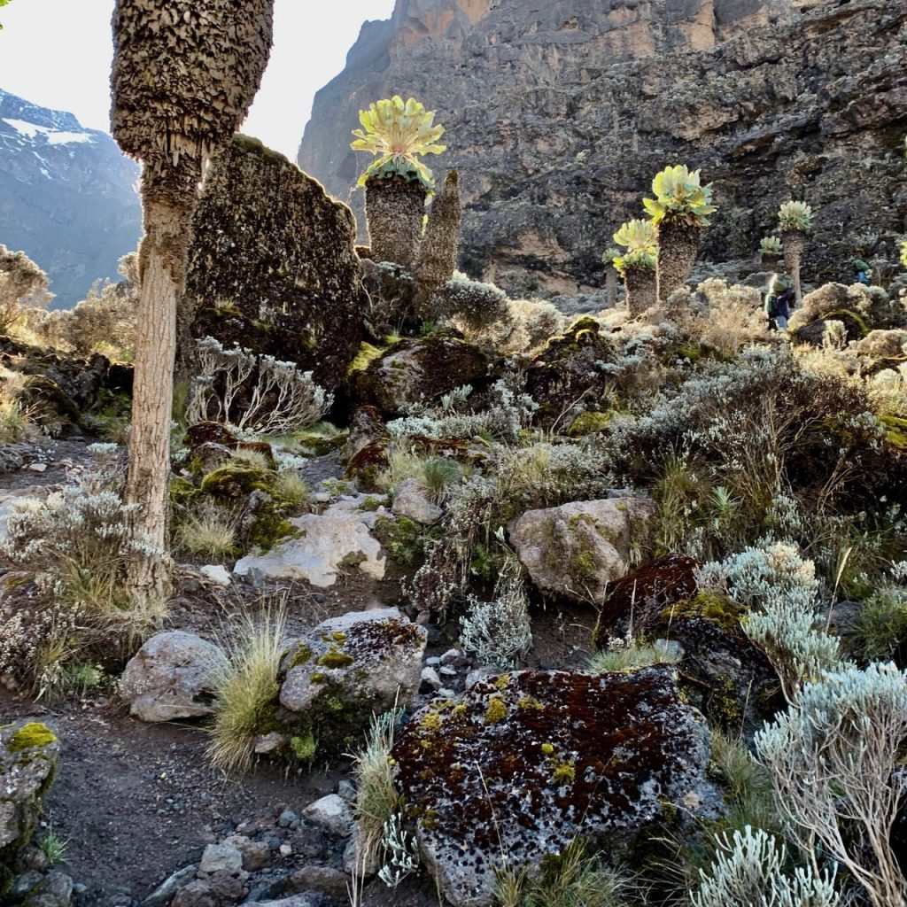 Some of the plant life on Kilimanjaro.