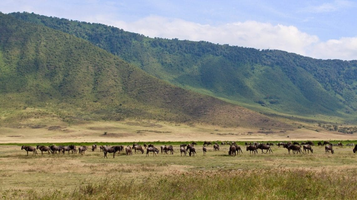 A herd of wildebeest in front of the wall around the Ngorongoro Crater.
