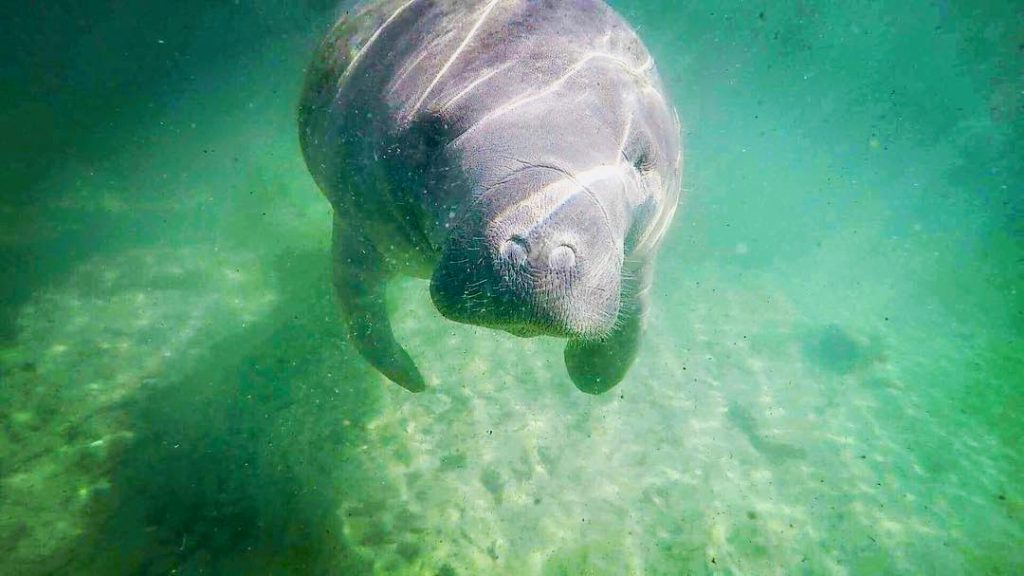Florida Manatee in Three Sisters Springs.
